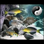 Fish_Tang_Comb_Cypri