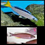 Fish_Tang_Cyprichromis_Leptosoma_Mpulungu