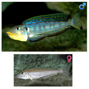 Fish_Tang_Enantiopus_Kilesa
