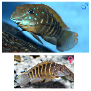 Fish_Tang_Eretmodus_Cyanostictus