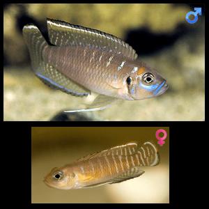 Fish_Tang_Lamprologus_Brevis