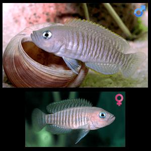 Fish_Tang_Lamprologus_Multifasciatus