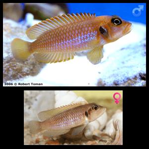 Fish_Tang_Lamprologus_Ocellatus