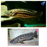 Fish_Tang_Lepidiolamprologus_Kendali