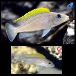 Fish_Tang_Neolamprologus_Caudopunctatus