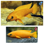 Fish_Tang_Neolamprologus_Leleupi