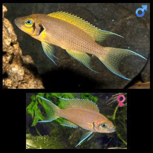 Fish_Tang_Neolamprologus_Pulcher