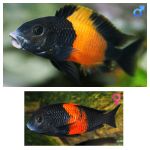 Fish_Tang_Tropheus_Moorii_Bemba