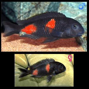 Fish_Tang_Tropheus_Moorii_BulluPoint