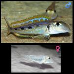 Fish_Tang_Xenotilapia_Ochrogenys_Ndole