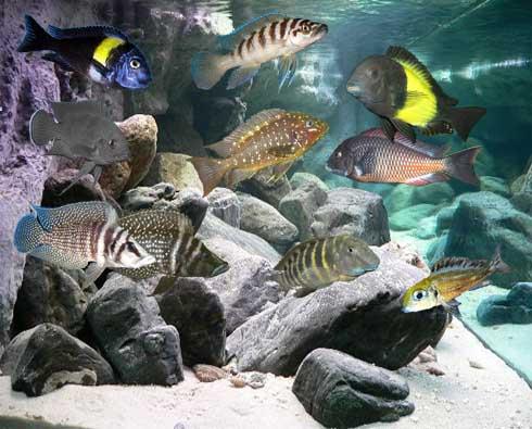 Tanganyika druhy